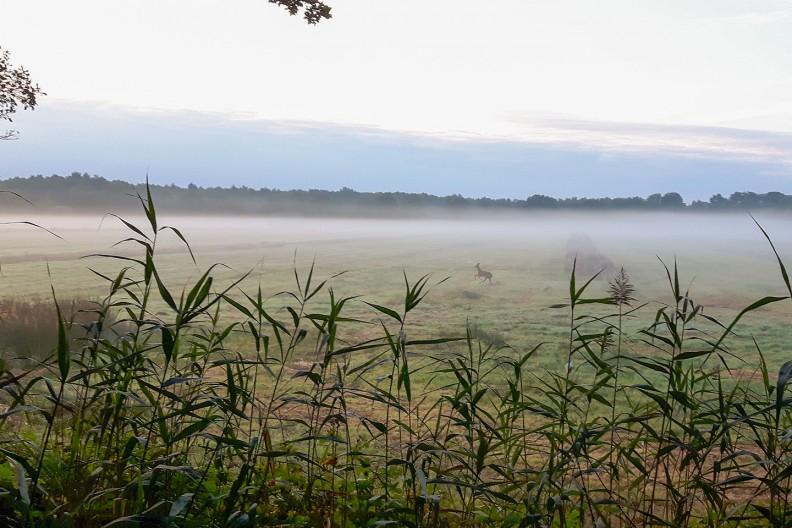 Een ree rent over de weilanden net buiten Meeuwenveen